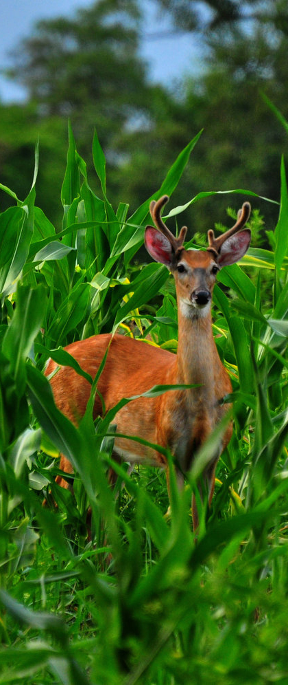 Woodland Summer deer and corn